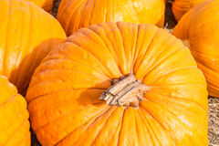 Pumpkin. S on a farm around Houston Texas Royalty Free Stock Image