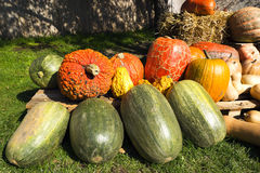 Pumpkin. S of various sizes and species Royalty Free Stock Images