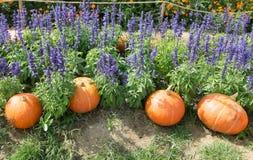 Pumpkin in the purple flower garden. Pumpkin in the flower garden stock image