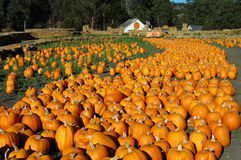 Pumpkin River. Looks like a pumpkin river in this pumpkin patch royalty free stock image