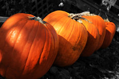 Pumpkin Row. A line of orange pumpkins with a black and white background. Would be seen around Halloween or Thanksgiving even during harvest festivals Stock Images