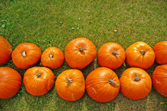 Pumpkin rows on grass background Royalty Free Stock Photography
