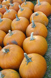 Pumpkin Rows Stock Images