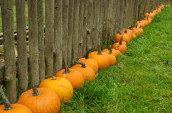 Pumpkin's Line Stock Photo