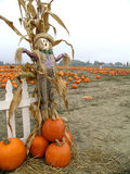 Pumpkin Scarecrow. Scarecrow along a picket fence in a pumpkin patch royalty free stock photography