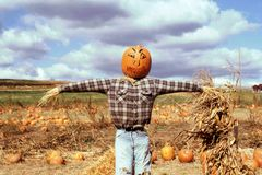 Pumpkin Scarecrow. A scarecrow with a pumpkin head in a pumpkin patch Royalty Free Stock Photography
