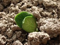 Pumpkin seedling Stock Images