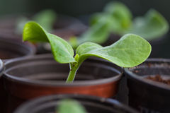 Pumpkin seedling in pot stock photo