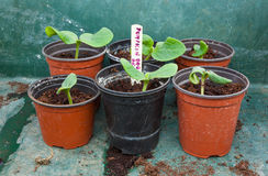 Pumpkin seedling in pot Royalty Free Stock Images
