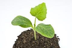 Pumpkin seedling in soil Stock Photos