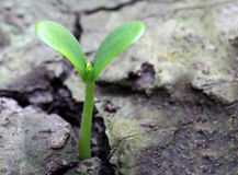 Pumpkin seedling on soil Royalty Free Stock Images