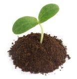 Pumpkin seedling on soil Royalty Free Stock Photography
