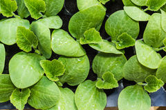 Pumpkin seedling in tray Stock Photography