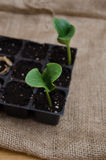 Pumpkin seedling in tray Stock Photos