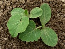 Pumpkin seedlings Stock Image