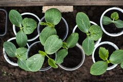 Pumpkin seedlings growing in pots waiting to be planted out. Royalty Free Stock Images