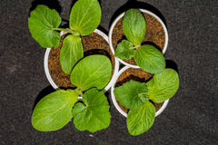 Pumpkin seedlings in pots on a dark background top view Stock Photo