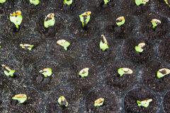Pumpkin seedlings in trays Stock Image