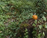 Orange pumpkin sitting on a stump in the forest with ferns and ivy surrounding it royalty free stock images