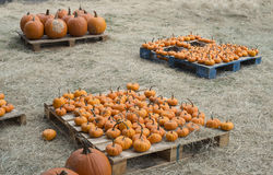 Pumpkin sizes for sale stock image