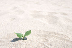 Pumpkin sprout. A pumpkin sprout grow in beach sand Stock Photo