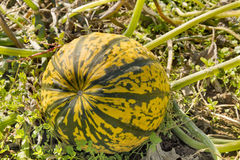 Pumpkin Squash in Farm Field Stock Images
