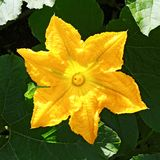 Pumpkin, Squash plant. Squash, courgette, pumpkin, vegetable marrow yellow flower with green leaves blossoming. Vegetable as a. Pumpkin, Squash plant. Squash royalty free stock image