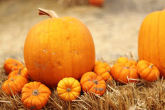 Pumpkin stalk in pumpkin patch Royalty Free Stock Photography
