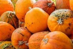 Pumpkin Stalks. The autumn harvest of pumpkins. the symbol of Halloween Stock Photo