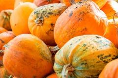 Pumpkin Stalks Stock Photography