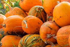Pumpkin Stalks. The autumn harvest of pumpkins. the symbol of Halloween Stock Image
