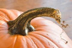 Pumpkin Stem Royalty Free Stock Images