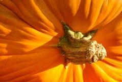 Pumpkin Stem Royalty Free Stock Image