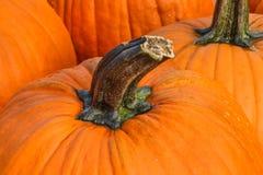 Pumpkin Stem Stock Images