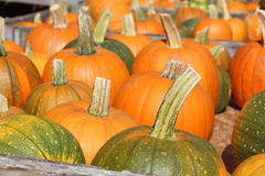 Pumpkin stems. An array of pumpkins waiting to be picked for halloween Royalty Free Stock Photo