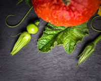 Pumpkin stems, buds and fruits on dark slate table Royalty Free Stock Images