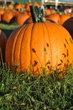 Pumpkin with stems Stock Photography