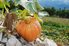 Pumpkin on stones. Large pumpkin plant and fruit growing on stones Stock Photos
