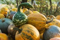 Pumpkin and strange watermelon harvest Royalty Free Stock Photography