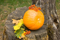 Pumpkin on a stump. Autumn still life with pumpkin and  rowanberry Stock Images