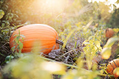 Pumpkin in Sunlight Stock Photography