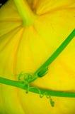 Pumpkin tendril. Big yellow pumpkin with tendril. Close-up Royalty Free Stock Image