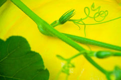 Pumpkin  tendril Stock Photography