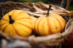 Pumpkin for thanksgiving Royalty Free Stock Photography
