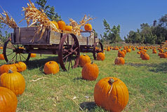 Pumpkin' Time. Field of pumpkins with an old wooden cart Stock Photography