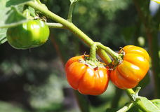 Pumpkin tomato fruits organic unseen exotic Stock Images
