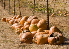 Pumpkin Trail royalty free stock photography