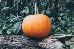 Pumpkin and tree Royalty Free Stock Images