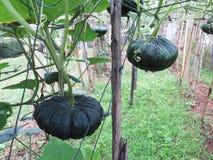 Pumpkin trees in garden Royalty Free Stock Image