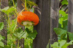 Pumpkin is so unpretentious to care, can grow everywhere except Antarctica Stock Image